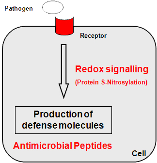 Redox signalling and antimicrobial peptides