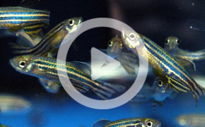 Zebrafish (picture indicates access to videos)