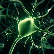 "Reprogramming ""Support Cells"" into Neurons Could Repair Injured Adult Brains"